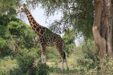 Giraffe Murchison Falls Nationalpark Uganda
