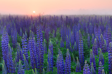 Lupinus field with blue flowers at the misty sunrise