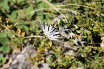 Papillon des montagnes