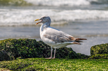 Sea gull standing on the rocks