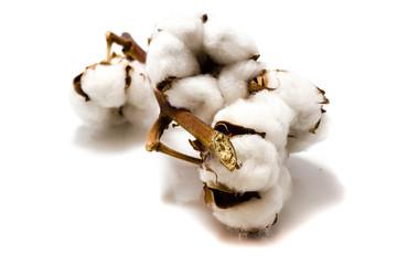 baumwolle Baumwollpflanzen isoliert freigestellt auf weißen Hintergrund, Freisteller