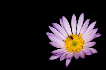 Isolated purple daisy with flower beetle