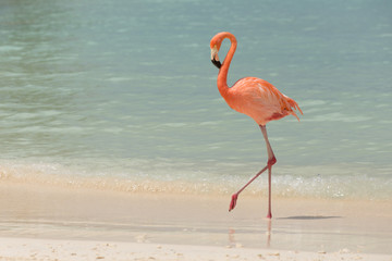 Poster Flamingo A flamingo walking on a tropical beach