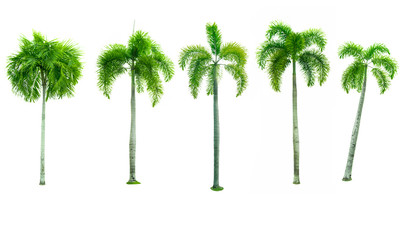 Set of five Manila palm, Christmas palm tree ( Veitchia merrillii (Becc.) H.E. Moore ) isolated on white background. used for advertising decorative architecture. Summer and beach concept.