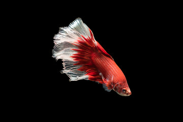 red with white siamese fighting fish, betta splendens