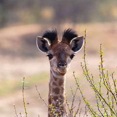Giraffe Adolescent