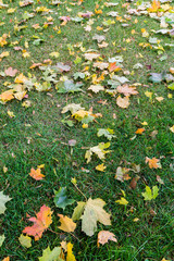 Grass loan with an autumn leaves on it. Closeup view of the folliage on the grass in October in park.