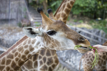 Female hand offers food for a giraffe at the zoo