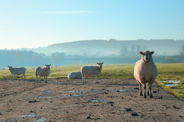 Wall Mural - Herd of sheep on a misty morning on a farmland in East Devon
