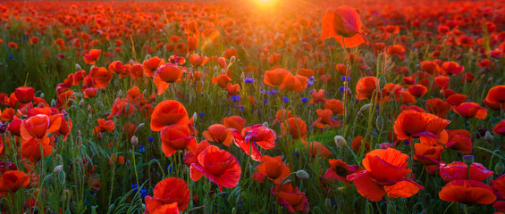 Foto op Canvas Poppy red poppies in the light of the setting sun,high resolution panorama