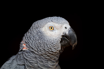 Portrait of an African grey parrot (Psittacus erithacus) on black.