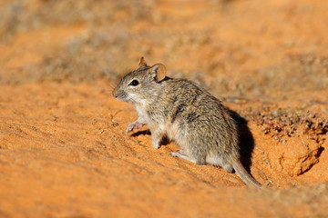 An alert  striped mouse (Rhabdomys pumilio) in natural habitat, South Africa.