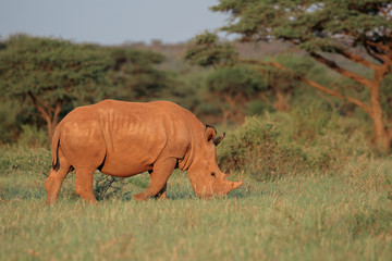 A white rhinoceros (Ceratotherium simum) grazing in natural habitat, South Africa.