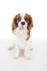 Beautiful friendly cavalier king charles spaniel dog. Purebred canine trained dog puppy. Blenheim spaniel dog puppy with dollar money. Dog costs. Photo.
