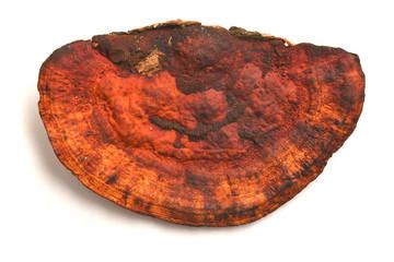daedaleopsis tricolor mushroom