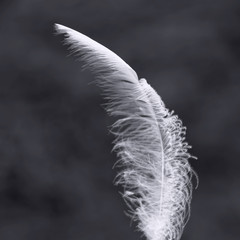 Black and white image of white bird feather € close-up