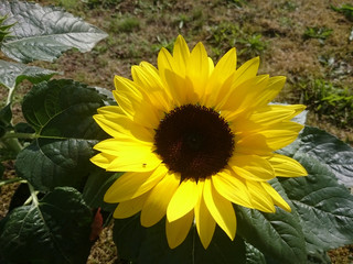 Sunflower (Helianthus annuus) in closeup