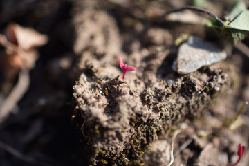 Close-Up Of Tiny Red Plant Sprout