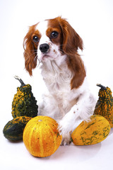 Beautiful friendly cavalier king charles spaniel dog. Purebred canine trained dog puppy. Blenheim spaniel dog puppy with vegetable pumpkins. Cute,