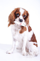 Trained dog with cards. Beautiful friendly cavalier king charles spaniel dog. Purebred canine trained dog puppy. Blenheim spaniel dog puppy. Cute.