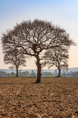 Bare Trees in a Ploughed Field