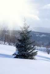 Majestic white spruces glowing by sunlight on the snowy mountain top in winter