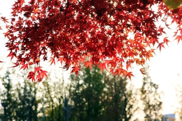 Maple trees turning to fall color