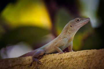 Lizard in Kingston, Jamaica.