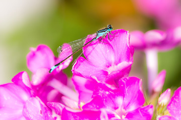 Bluetail damselfly on a pink flower