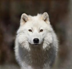Photo sur Aluminium Loup loup arctique dans la brume