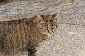 Silver tabby cat walking on the street