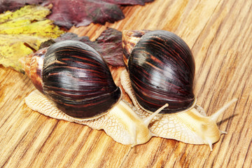 Two Giant african Achatina snails on wooden background with grape leaves.