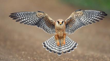 The red-footed Falcon in flight, (Falco vespertinus)