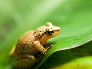 White lipped Tree frog on the leaf - Rhacophorus Leucomystax