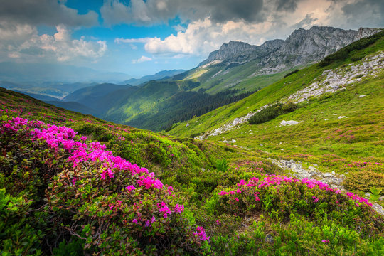 Colorful pink rhododendron flowers in the mountains,Bucegi, Carpathians, Romania