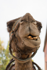 Camel's Muzzle.A camel looking straight into camera