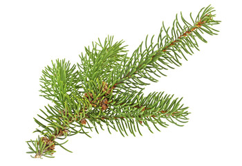 Twig of evergreen fir on white background. Fir-tree branch.