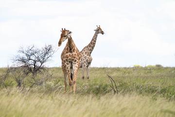 Giraffen in Namibia Etosha Nationalpark