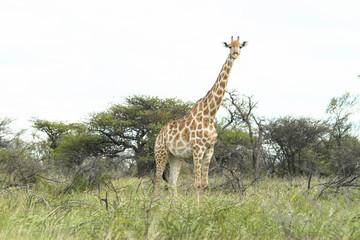Giraffe in Namibia Etosha Nationalpark