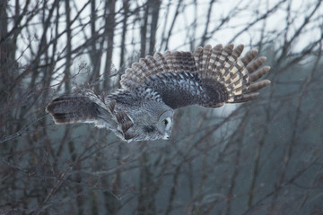Great gray owl in flight against trees in the background, winter
