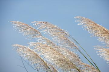 Wall Mural - landscape of reeds grass against blue sky