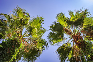 Two green palms against the blue sky. Tropical summer vacation concept.