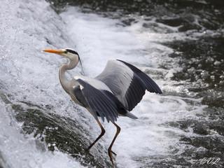 Fischreiher in Erfurt