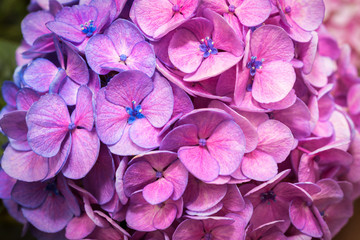 Beautiful Hydrangea Flowers Pink and Purple background texture