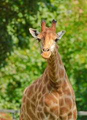 African three-horned giraffe (Giraffa camelopardalis). Female. Close-up