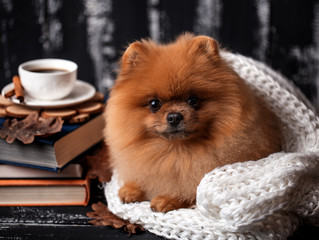 Pomeranian dog wrapped up in a blanket. A stack of books and a cup of coffee. Beautiful dog with books