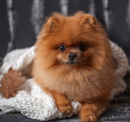 Pomeranian dog wrapped up in a blanket.