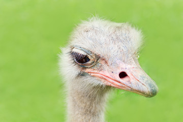 The heads of an ostrich on a green background.