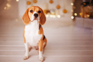 Beautiful beagle dog sitting near the Christmas tree