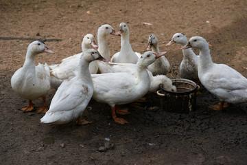 Close-Up Of Ducks On Field